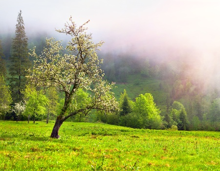 apple blossom: Apple blossom in spring in the mountains