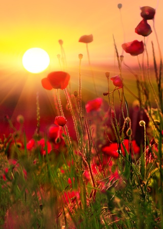 poppy leaf: poppies at sunset Stock Photo