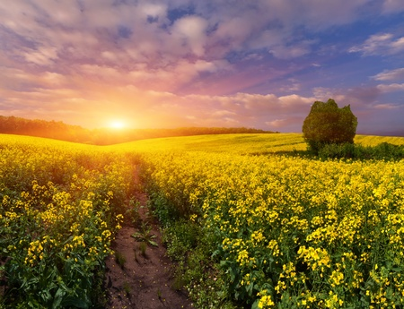 Summer Landscape with a field of yellow flowers. Sunrise Stock Photo