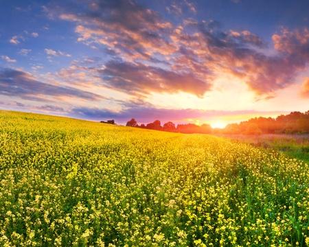 colorful landscape of blossom rape on sundown Stock Photo - 13078649