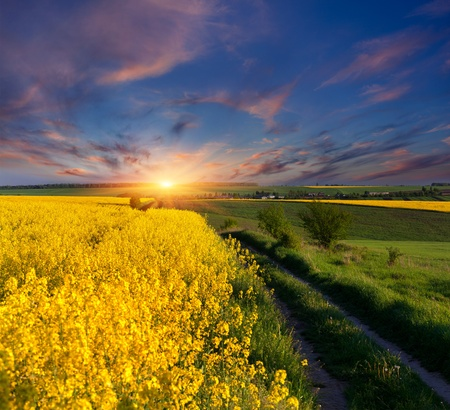 gleam: Summer Landscape with a field of yellow flowers. Sunrise Stock Photo