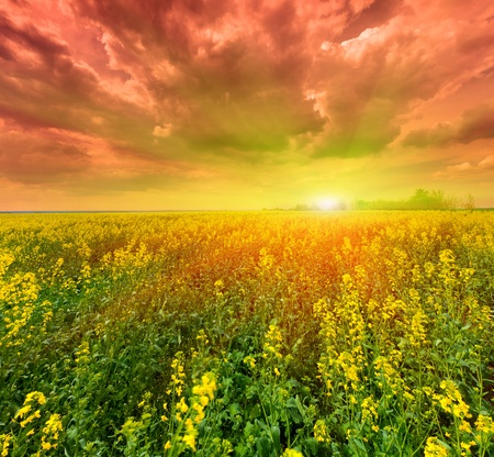 field of flowering canola at sunset photo
