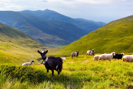 flock of sheep and goat in the mountains at summer photo