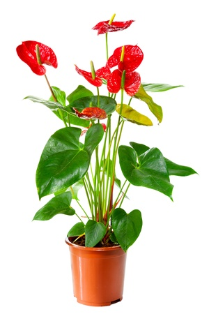 Blossoming plant of AnthuriumFlamingo flowers in flowerpot isolated on white Stock Photo