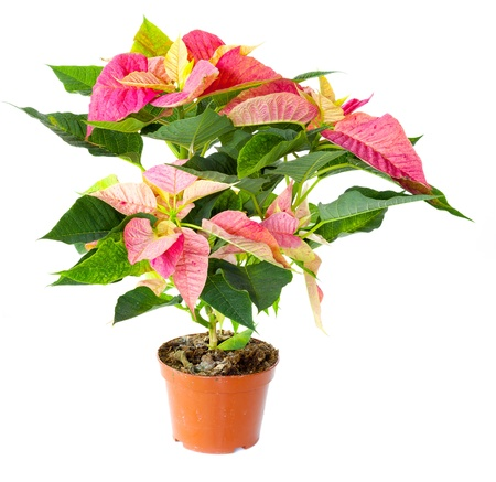 Poinsettia plant isolated against white background Stock Photo - 13178239
