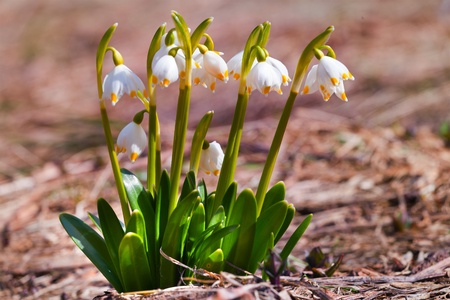 The close up view of the lilly of the valley flowers, surrounded by old leaves Stock Photo - 13178245