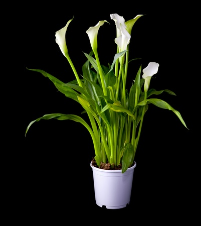 Blossoming plant of Calla flowers in flowerpot isolated on black photo