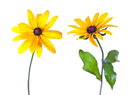 Two Black-Eyed Susan (Rudbeckia Hirta) flowers isolated on white photo