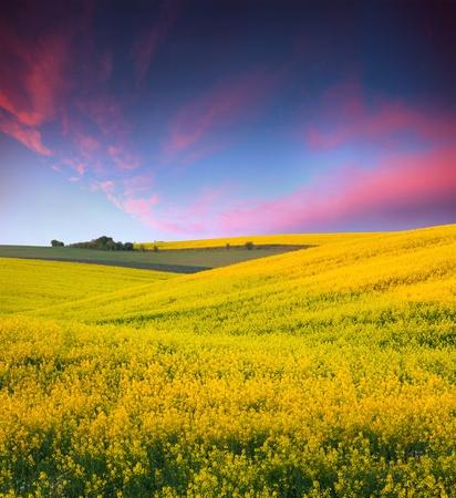 노란색 꽃 일몰의 필드와 여름 풍경