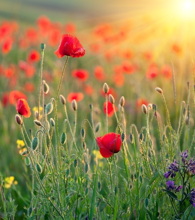 Red poppies in rays of the sun photo