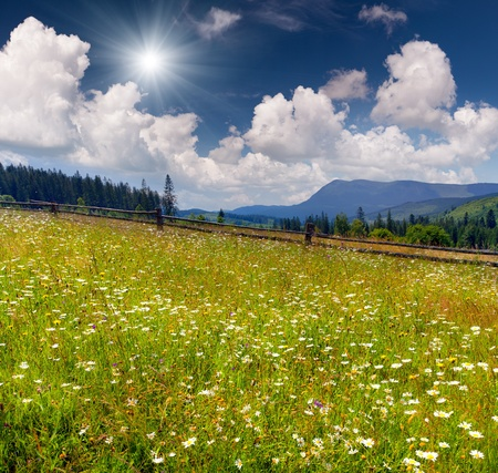 summer landscape - field of flowering camomiles in the mountains photo