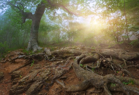 Tree with huge roots in the  mystical forest  Sunrise photo
