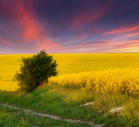Summer Landscape with a field of yellow flowers  Sunset photo