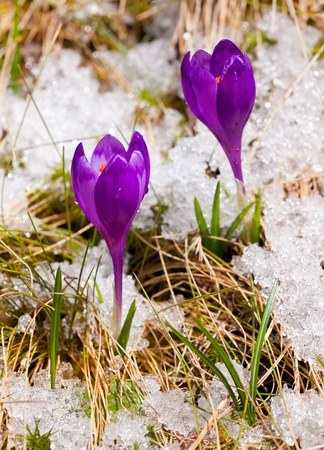 Two crocuses on the snow in spring photo