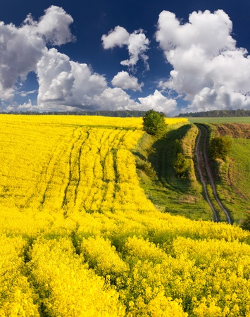 Summer Landscape with a field of yellow flowers photo