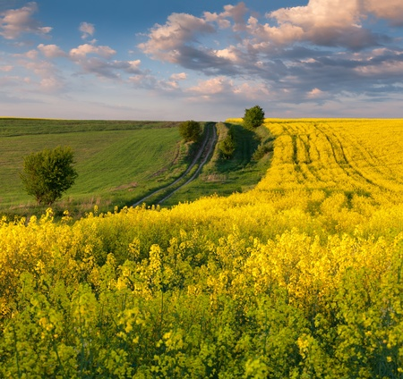Summer Landscape with a field of yellow flowers  Sunset Stock Photo - 13306134