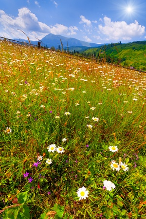 Summer landscape - field of flowering chamomiles in the mountains photo