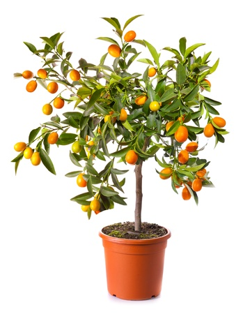 mandarin orange: small citrus tree in the pot isolated on white