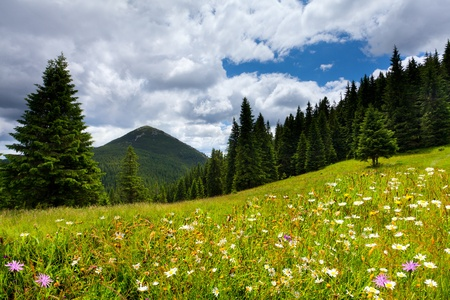 Field of daisies blooming in the mountains in summer photo