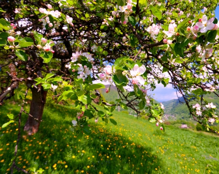 Blossom apple tree in the mountains village at the spring