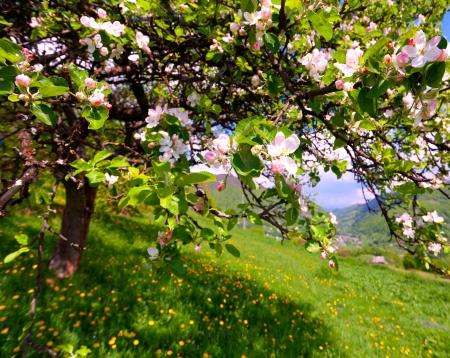 albero di mele: Blossom melo nel villaggio montagna alla fonte