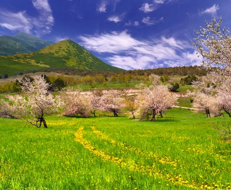 Blossom apple garden in the mountains at spring with road from dandelions photo