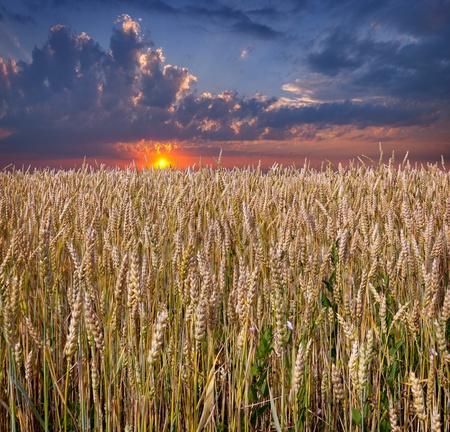 sunrise among a wheat fields at summer photo