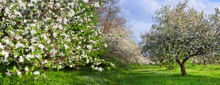apple blossom: Panorama of blossom apple-trees garden at the spring. Sunny day