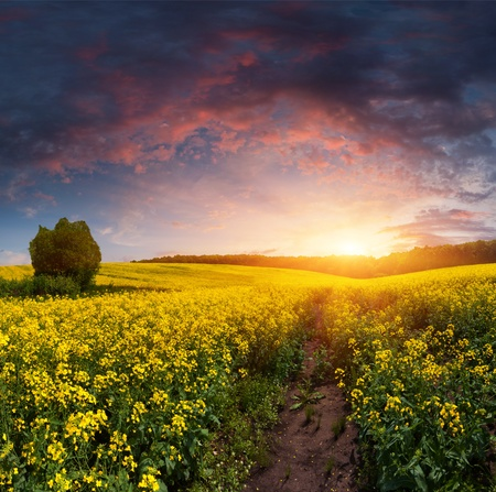 Summer Landscape with a field of yellow flowers. Sunset Stock Photo - 13484364