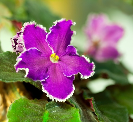Close up of purple violet in a bunch Stock Photo - 13484367