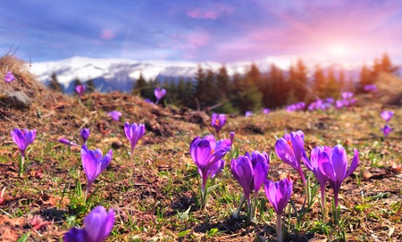 Field of blooming crocuses in the spring in the mountains Stock Photo