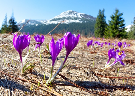 Field of blooming crocuses in the mountains at spring photo