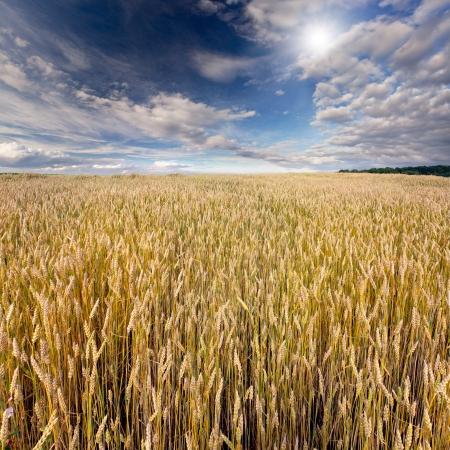 Wheat field at summer photo