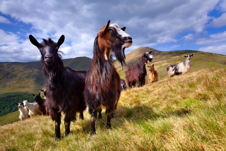 flock of sheep and goat in the mountains at spring photo