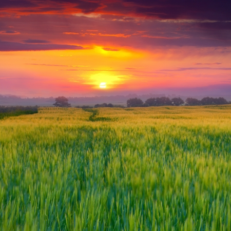 Wheat field at summer. Sunset photo