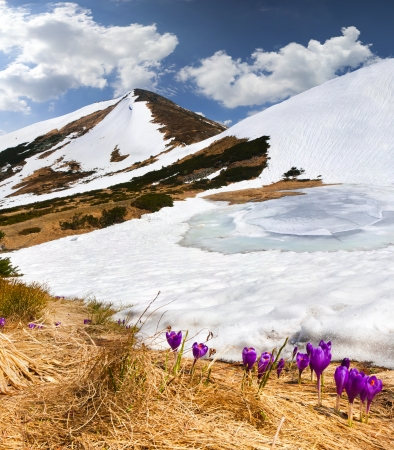 Crocuses bloom in spring in the mountains photo