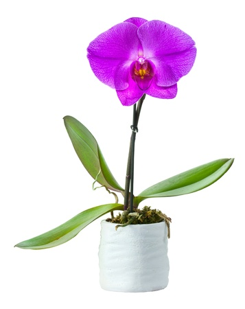 Blossoming plant of small orchid in flowerpot isolated on white Stock Photo - 17757631
