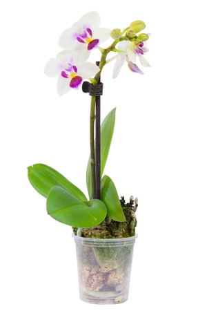 Blossoming plant of small orchid in flowerpot isolated on white Stock Photo - 17757627