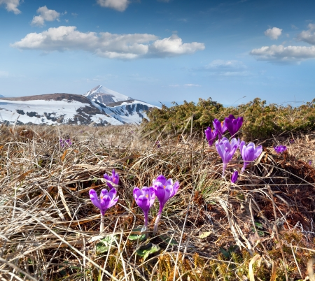 Blooming crocuses in the mountains at spring photo
