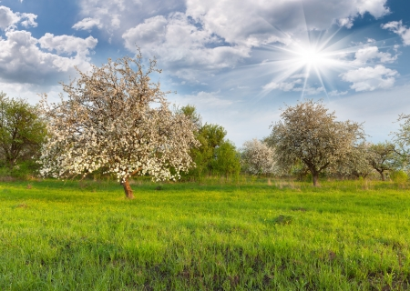 apple blossom: Blooming apple trees in the garden at spring