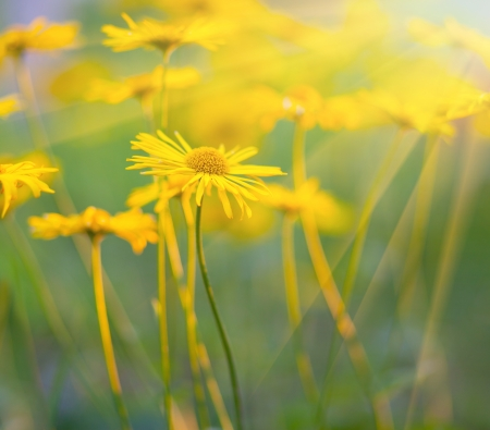 Soft-focus close-up of yellow daisies Stock Photo - 18347728