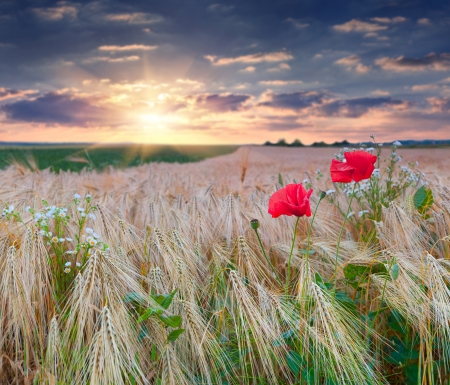 beautiful summer sunset on a wheat field with poppies and daisies photo