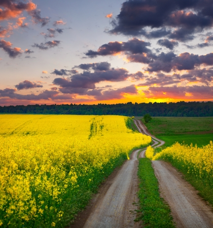 Summer Landscape with a field of yellow flowers. Sunset photo