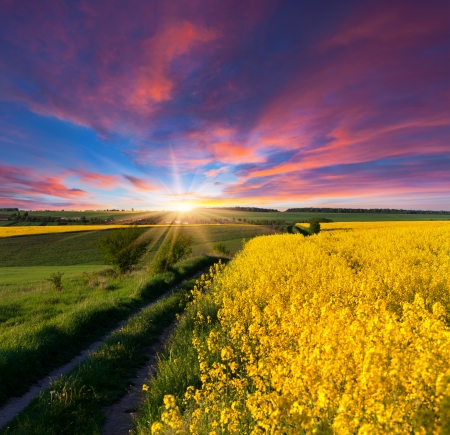 Summer Landscape with a field of yellow flowers. Sunrise photo