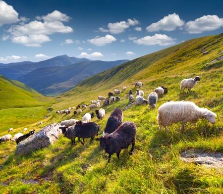 oveja negra: Reba�o de ovejas en las monta�as de los C�rpatos. Ucrania, Europa Foto de archivo