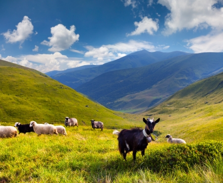 mountain goats: flock of sheep and goat in the mountains at summer Stock Photo