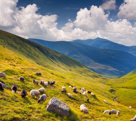 Flock of sheep  in the Carpathians mountains. Ukraine, Europe photo