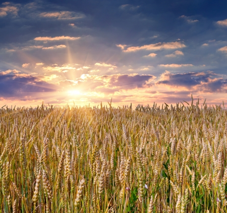 sunrise among a wheat fields at summer