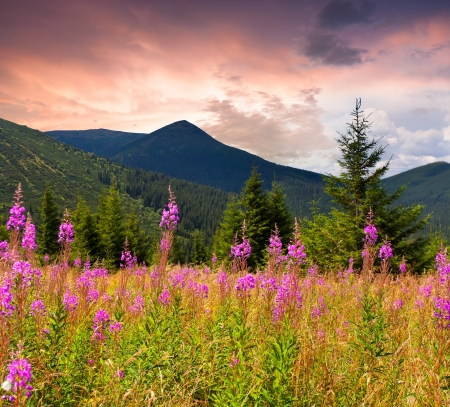 Field of angustifolium flowers in the Carpathian mountains. Ukraine, Europe.
