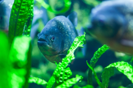 Napolean fish in the aquarium among green leaves photo